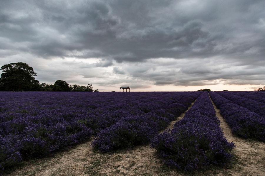 parkncube_cartier-lavendar-field_001